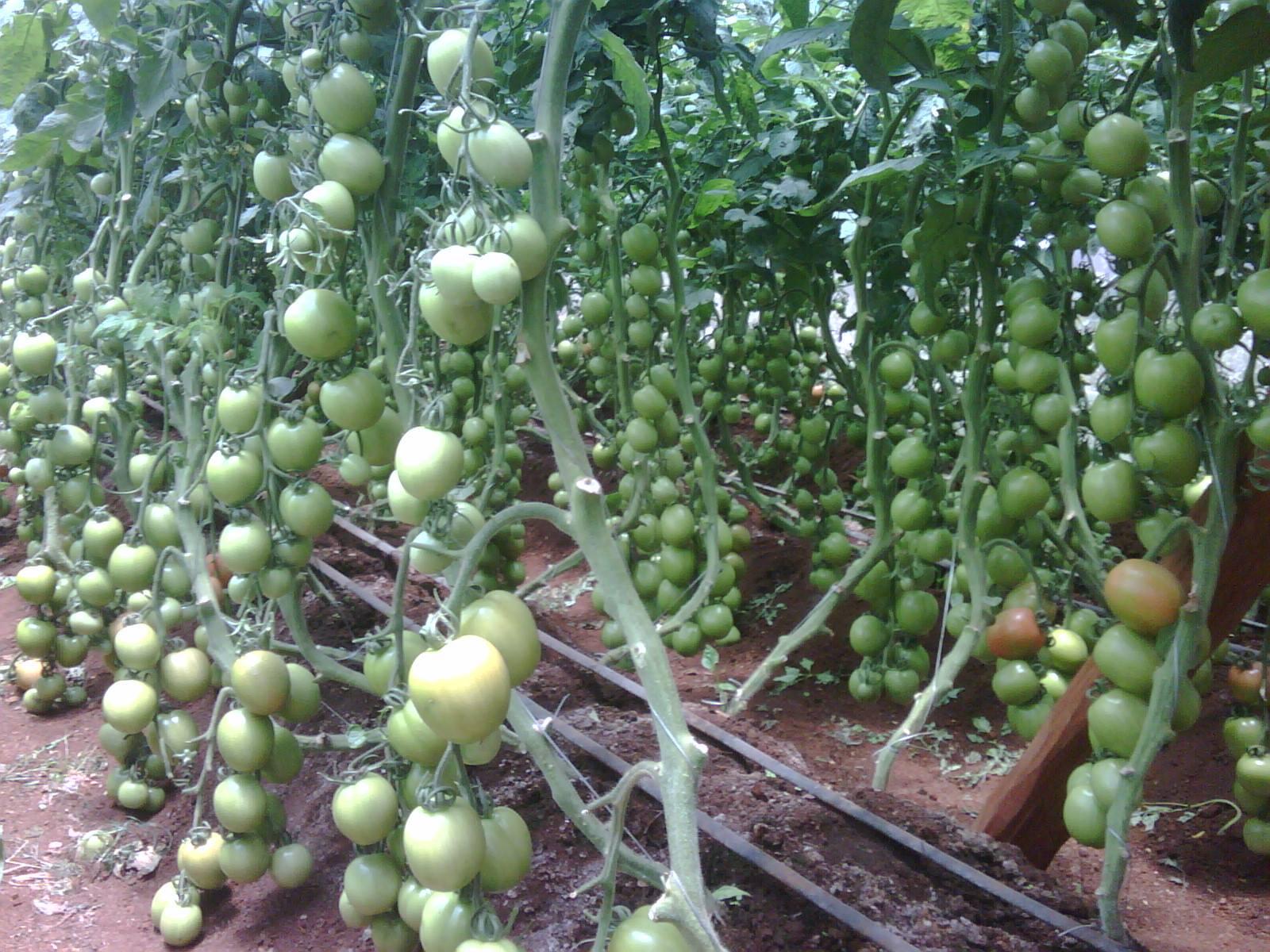 Tomato Drip Irrigation Kit