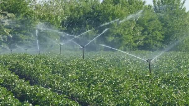 Potato Irrigation in Kenya