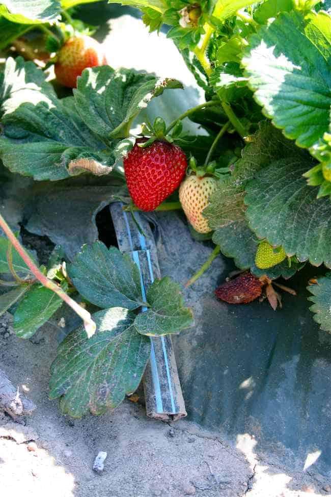Strawberry Irrigation In Kenya
