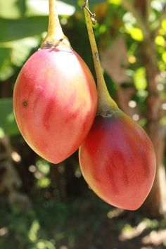 Tree Tomato or Tamarillo Irrigation