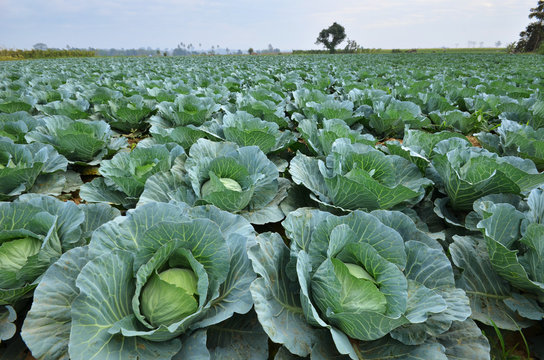 Cabbage Irrigation In Kenya