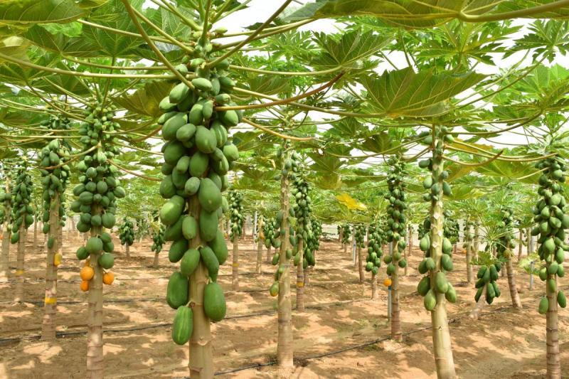 Pawpaw or Papaya Irrigation