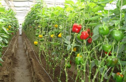 How To Grow Capsicums In A Greenhouse