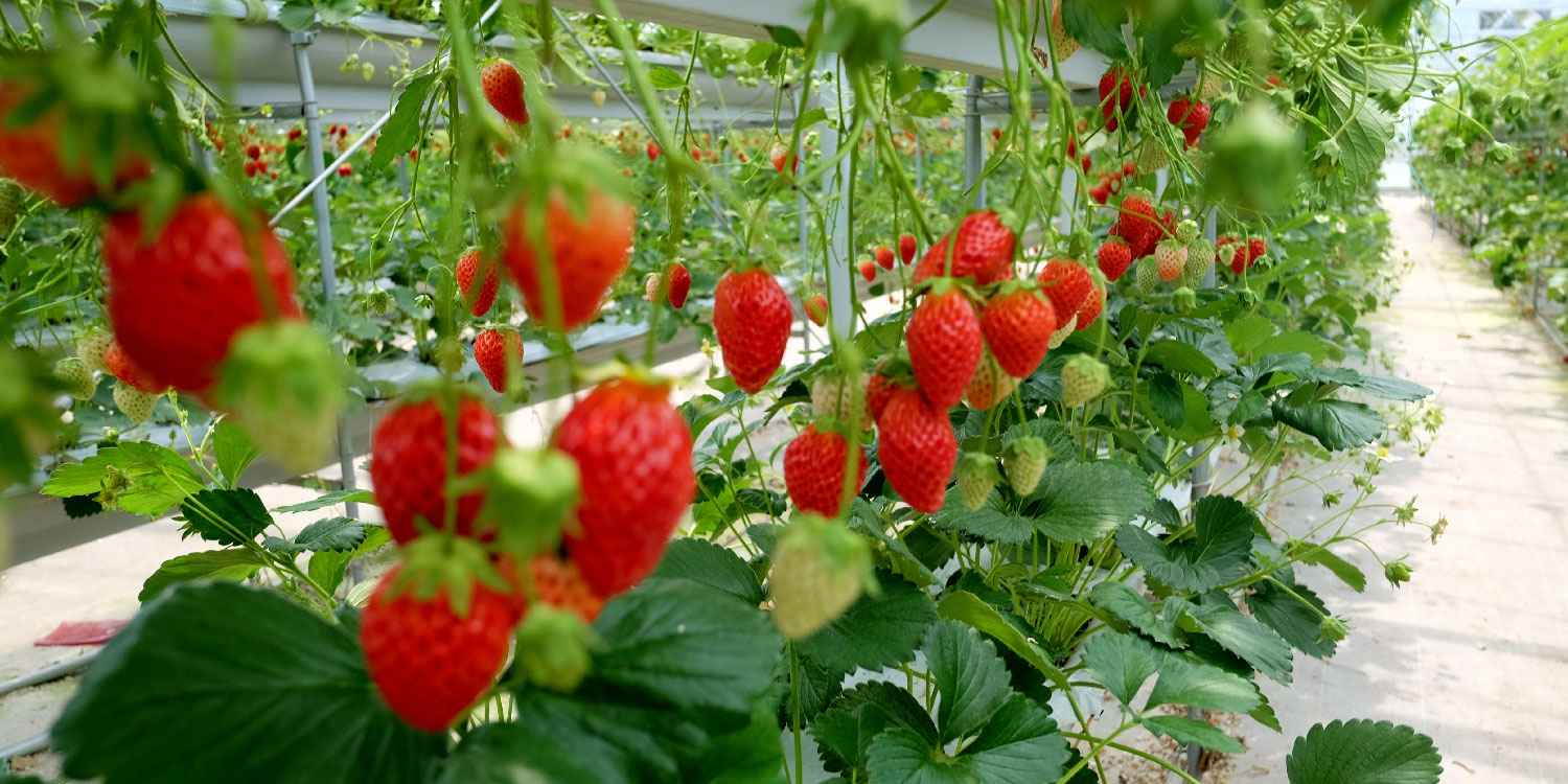 How to Grow Strawberry In A Greenhouse